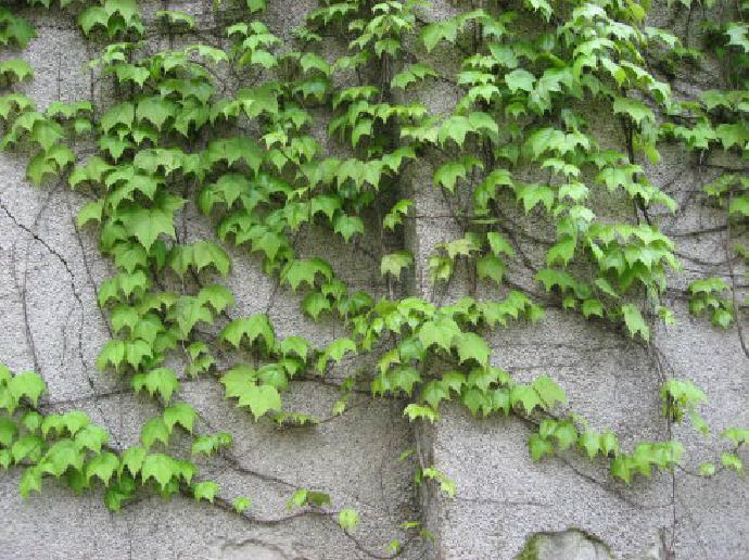 爬山虎为什么会爬墙 – 植物百科