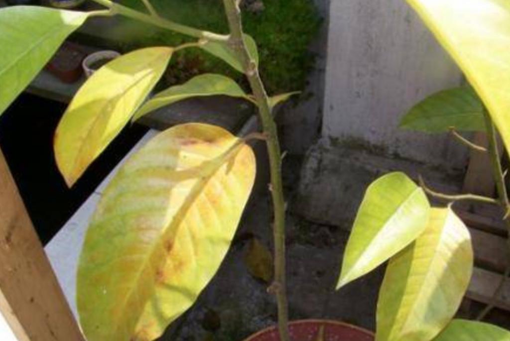 白兰花叶子_白兰花叶子发黄怎么办,白兰叶子发黄处理方法 - 植物百科