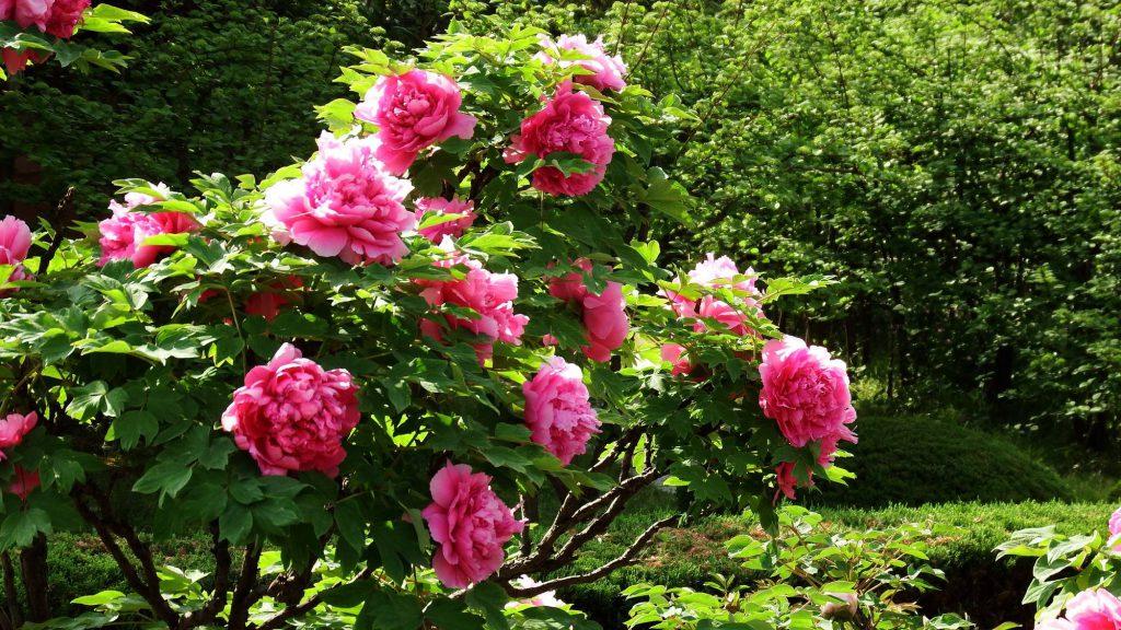 花中之王牡丹花的种植培养技巧