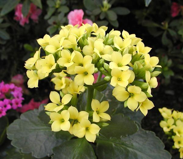 关于长寿花的养殖方法以及注意事项,了解一下