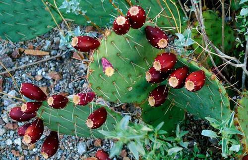 仙人掌果实的种植方法以及需要注意的事项