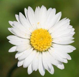 沙斯塔雏菊