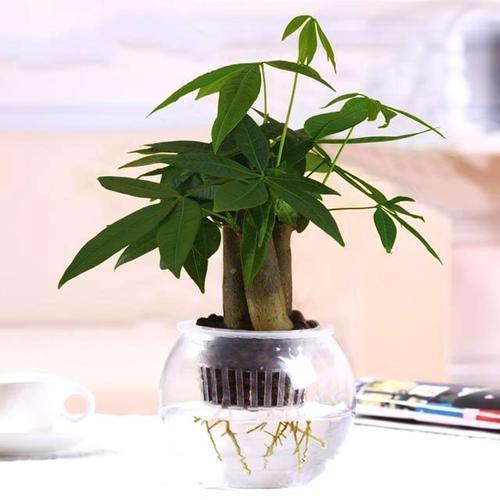小发财树好养吗,怎么养?发财树怎么养?