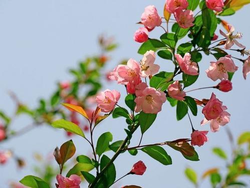 海棠花有几种?海棠花秋季的养殖方法有哪些