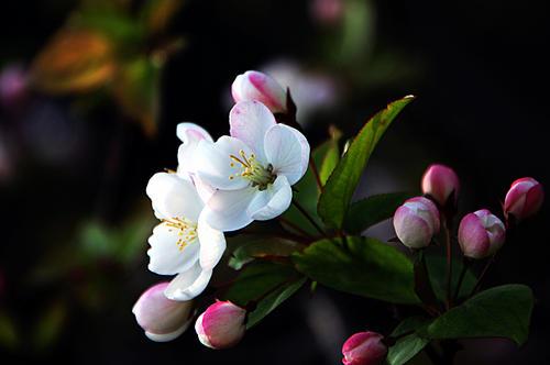 海棠花秋季的养殖方法,怎么扦插?海棠花盆栽要怎样管理