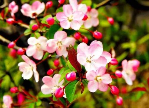 海棠花是几月发芽的?海棠花繁殖方法有哪些