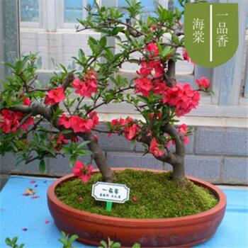 海棠花盆景的养殖方法海棠花盆栽管理方法